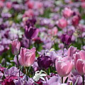 Days Of Wine And Tulips by Constance Woods