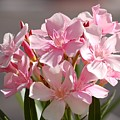 Shades Of Pink by Susan Heller