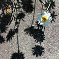 Shadow Daisy by Karen Adams
