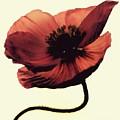 Shadow Poppy by Amy Neal