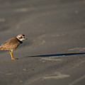 Shadow - Semipalmated Plover by Christy Cox