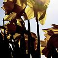 Shadowed Daffodils by Karla DeCamp