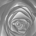 Shadowless Rose - 26789 by David R Mann