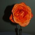 Shadows Of A Peach Rose by Warren Thompson