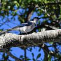 Shadowy Blue Jay by William Tasker