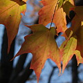 Shadowy Sugar Maple Leaves In Autumn by Anna Lisa Yoder