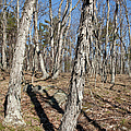 Shagbark Hickory Forest  by Erin Paul Donovan