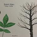 Shagbark Hickory Tree Id by Michael Panno