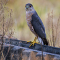 Shakerag Coopers Hawk by Barbara Bowen