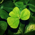 Shamrock by Cathie Tyler