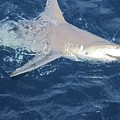 Shark by Anthony Schafer