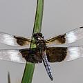 Sharp Focus Dragonfly by John Haldane