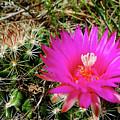 Pincushion Cactus - Coryphantha Vivipara by Blair Wainman
