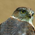 Sharp-shinned Hawk by Bonnie Griest
