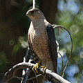 Sharp Shinned Hawk by Ernie Echols