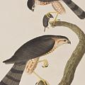 Sharp-shinned Hawk by John James Audubon