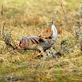 Sharp Tailed Grouse Strutting by Dennis Hammer