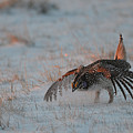 Sharptail Grouse On Snow by Whispering Peaks Photography