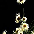 Shasta Daisies For Dad by Lori Mahaffey