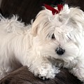 Shayla The Maltese Pup by BJ Redmond