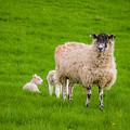 Sheep And Lambs by Mariusz Talarek