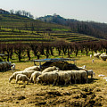 Sheep And Wine by Wolfgang Stocker