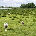 Sheep Animals by Compuinfoto