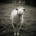 Sheep Chewing Cud by Danielle D. Hughson