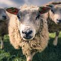 Sheep by Dorothy Binder