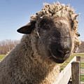 Sheep Face 2 by Diane Schuler