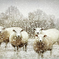 Sheep Gathering In Snow by Bellesouth Studio