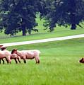 Sheep Herding by Sam Davis Johnson