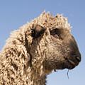 Sheep In Profile by Diane Schuler