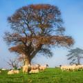 Sheep In Somerset - Impressions by Susie Peek