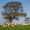 Sheep In Somerset by Susie Peek