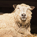 Sheep In Stable 2 by Diane Schuler