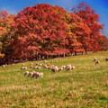 Sheep In The Autumn Meadow by John Haldane