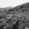 Sheep In The Rockies  by John McGraw