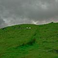 Sheep.  by Leif Sohlman
