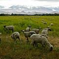 Sheep by Misty Tienken