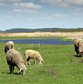 Sheep On Pasture Nature Farm Scene by Goce Risteski