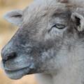 Sheep  by Patty Vicknair