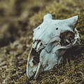 Sheep Skull by Marc Daly