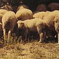Sheep by Stephen Hawks