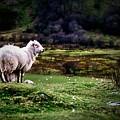 Sheep View by Dawn Van Doorn