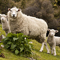 Sheep With Twin Lambs Stony Bay by Colin Monteath