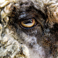 Sheep's Eye by William Kauffman