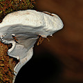 Shelf Fungus On Bark - Quinault Temperate Rain Forest - Olympic Peninsula Wa by Christine Till