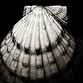 Shell - Sepia Tone by Charmian Vistaunet