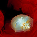 Shell And Satin Flow by Lynda Lehmann